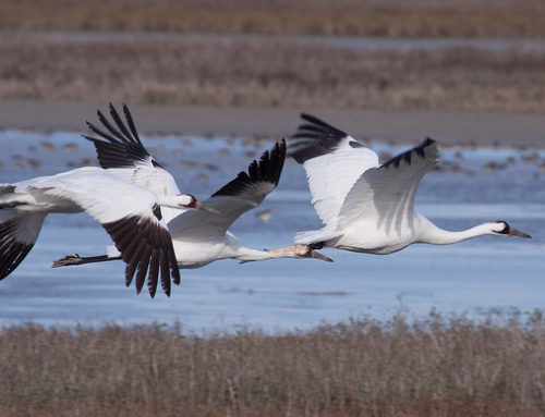 Flight of Hope Project: The Conservation of Cranes